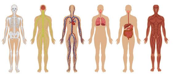 http://www.livescience.com/images/i/000/049/875/i02/human-body.jpg